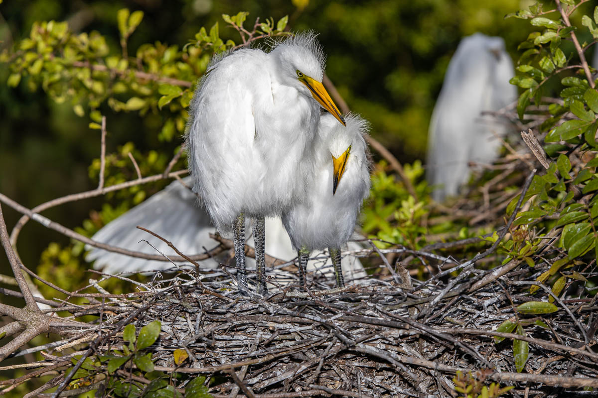 IMAGE: http://s152588970.onlinehome.us/PiCs/2019/Birding/Gatorland%20April%2020/677A0586.jpg