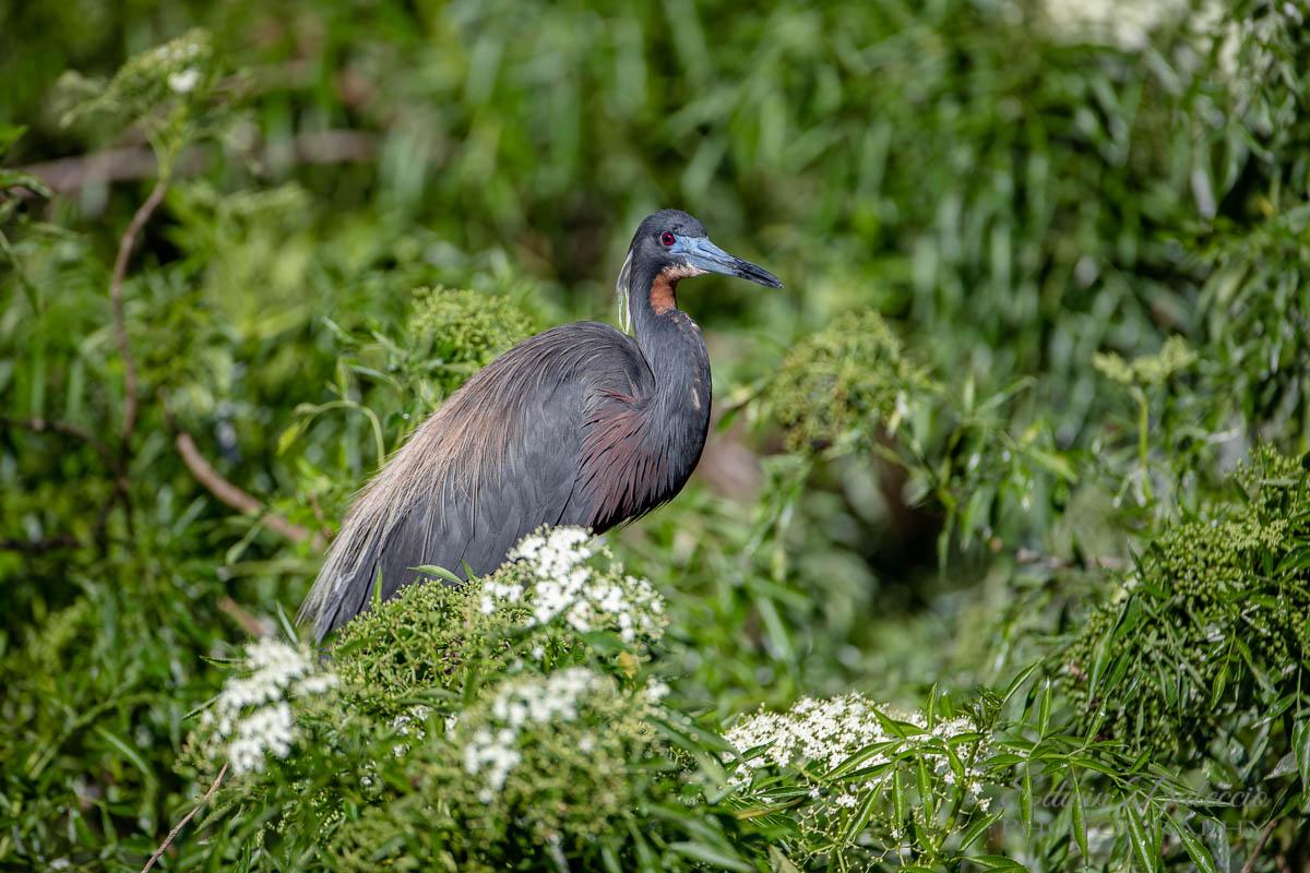 IMAGE: http://s152588970.onlinehome.us/PiCs/2019/Birding/Gatorland%20April%2020/DL5A1542.jpg