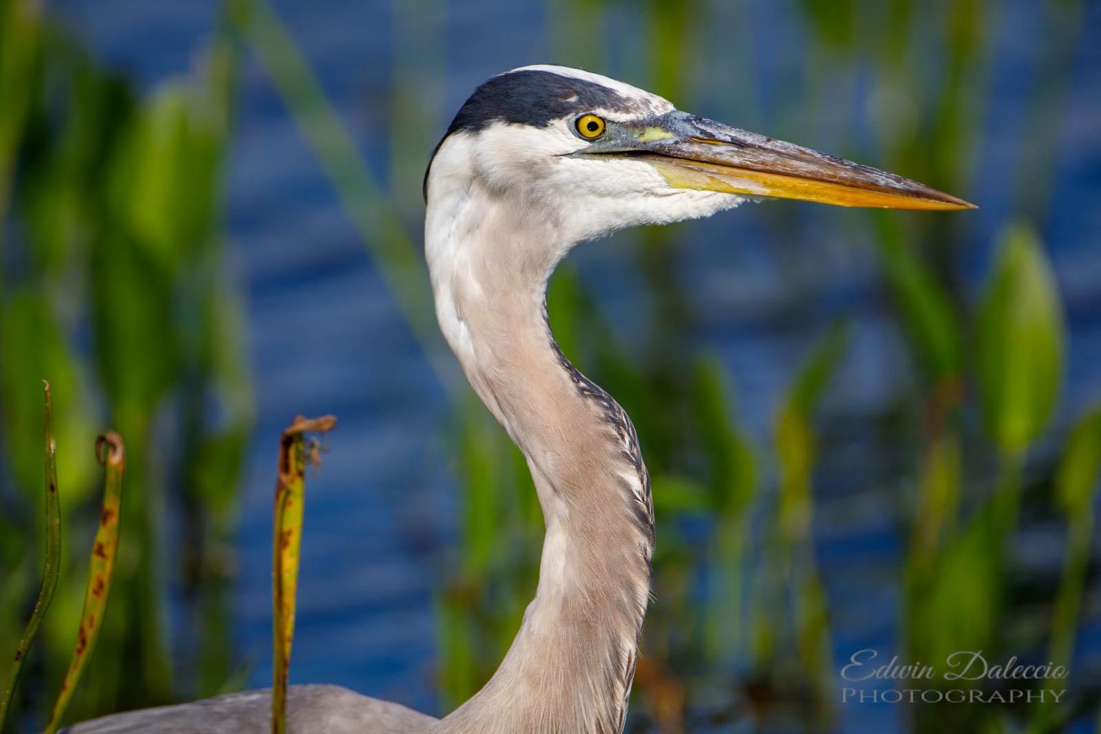 IMAGE: http://s152588970.onlinehome.us/PiCs/2019/Birding/Orlando%20Wetlands%20April%2013/DL5A1308.jpg