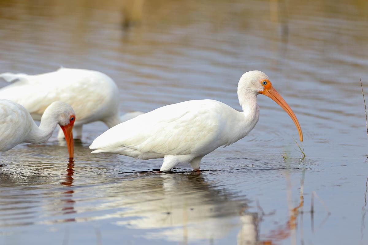 IMAGE: http://s152588970.onlinehome.us/PiCs/2020/Birding/Circle%20B%20Jan%2025/5C5A9611.jpg